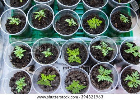 Seedlings in the spring on the terrace. Flower seedling. Sunflower seedlings - stock photo