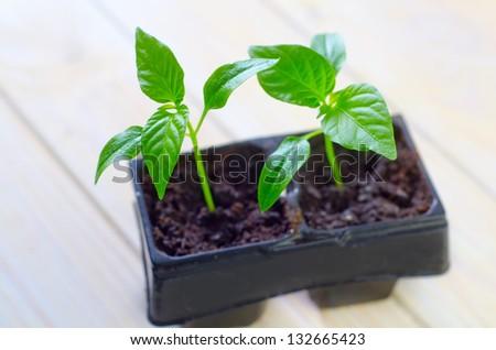 seedlings of bell pepper - stock photo