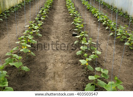 seedlings of cucumbers in a rural greenhouse - stock photo