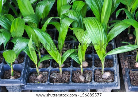 Seedlings of oil palm . For agriculture in tropical areas of Thailand . - stock photo
