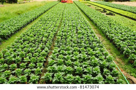Seedlings of the same sort at farms in Thailand - stock photo