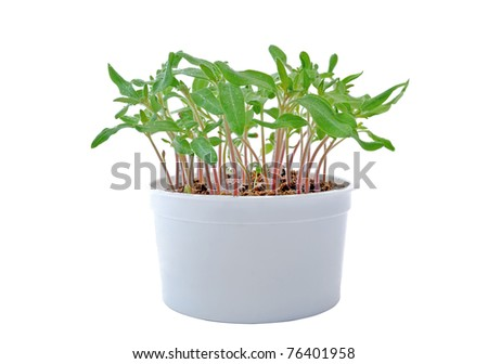 Seedlings of tomato in a white pot - stock photo