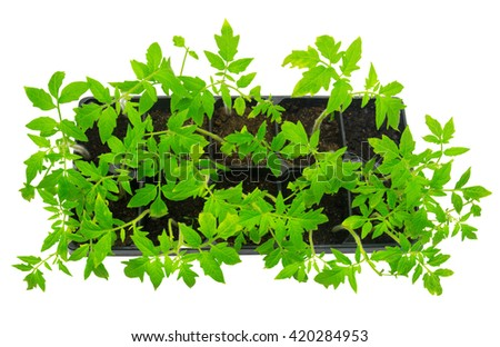 Seedlings of tomato isolated on white background. Organic agriculture - stock photo