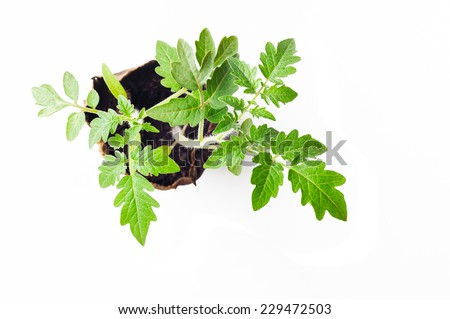 Seedlings of tomatoes on a white background - stock photo