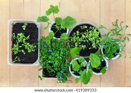 Seedlings of various plants in round and rectangular bowl on a wooden background. View from above. - stock photo