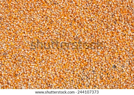 seeds of corn (maize) - stock photo