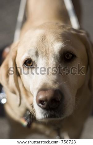 Seeing Eye Dog - stock photo