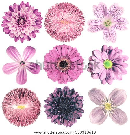 Selection of Various Flowers in Purple Vintage Retro Style Isolated on White Background. Daisy, Chrystanthemum, Cornflower, Dahlia, Iberis, Primrose, Gerbera, Rose. - stock photo
