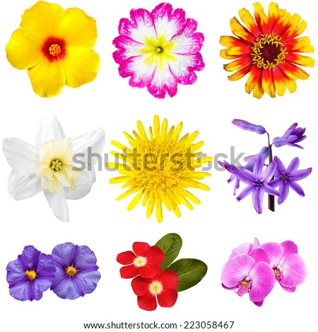 Selection of various flowers isolated on white background: yellow hibiscus, pink primula, Zinnia Aster, Narcissus, dandelion, blue hyacinth, violet mallow, red Mandevilla, Phalaenopsis orchid. - stock photo