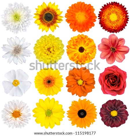 Selection of Various White, Yellow, Orange Flowers Isolated on White Background. Red, Pink, Yellow, White Colours including rose, dahlia, marigold, zinnia, straw flower, sunflower, daisy, primrose - stock photo