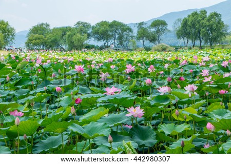 Selective focus blurred of Pink Lotus flower and Lotus flower plants,Pink lotus pond scenery - stock photo