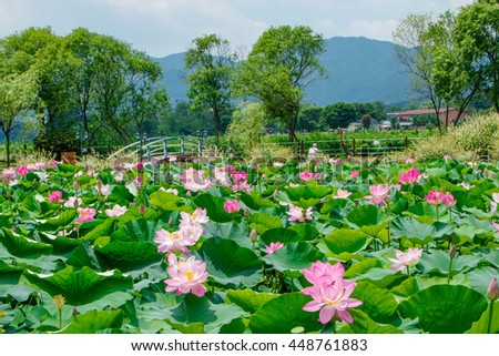 Selective focus blurred of Pink Lotus flower and Lotus flower plants,Pink lotus pond scenery. - stock photo