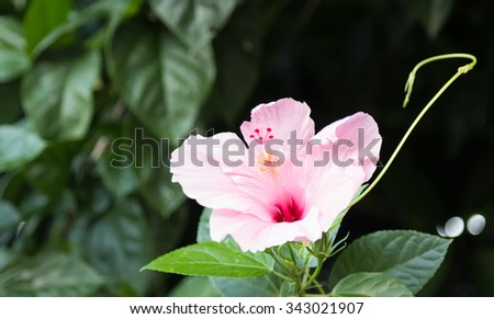 selective focus of hibiscus flower  in the field - stock photo