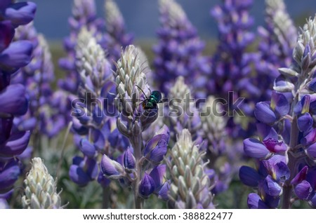 Selective focus on a green blister beetle against bush lupine. Photo taken in Southern California, USA. 2016 wildflowers boom. - stock photo