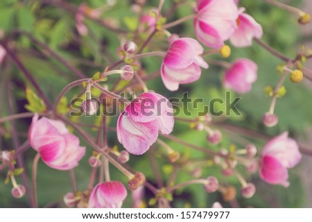 Selective focus on blooming Japanese Anemone flowers./Japanese Anemones  - stock photo