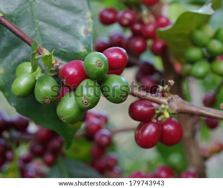 Selective focus on coffee berries. Location: Boquete, Panama (Central America). Boquete is known worldwide for the quality of the coffee that it's grown there. - stock photo