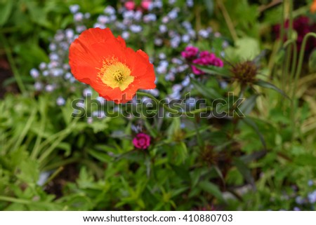 Selective focus on one of orange poppy flower in the garden. - stock photo