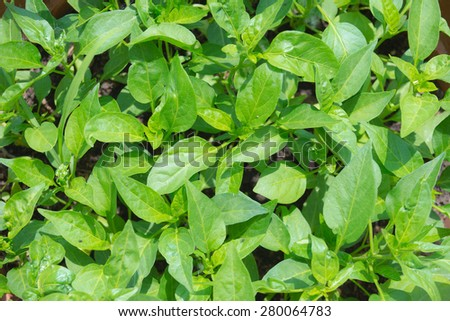 Selective focus on young lush green leaves of little chilli crops by home gardening and organic farming. Shot directly above. Green leaves natural background. - stock photo