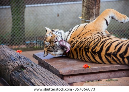 Selective focus tongue of tiger , Tiger like clean its body by its tongue - stock photo