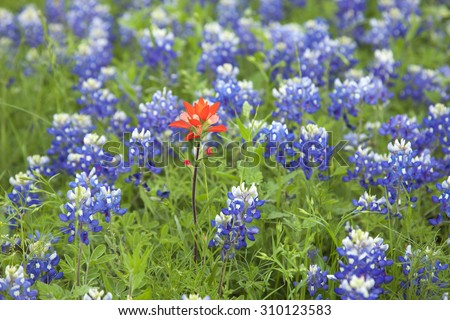 Selective focus view of a single Indian Paintbrush flower among many Texas Bluebonnets - stock photo