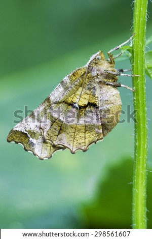 Selenia dentaria moth in natural habitat - stock photo