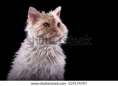 Selkirk Rex cat on a black background - stock photo