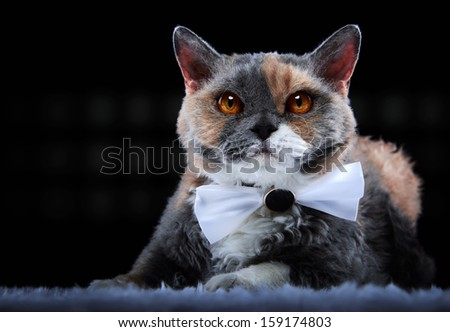 Selkirk Rex cat with bow-tie - stock photo