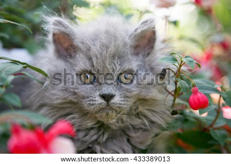 Selkirk rex kitten sitting in flowers - stock photo