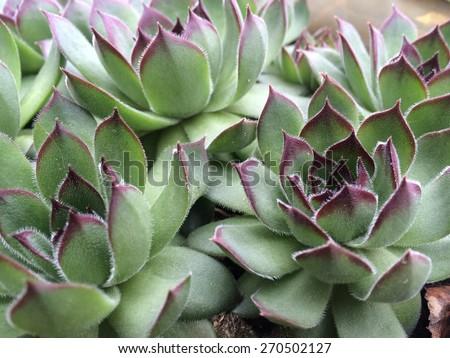 Sempervivum calcareum. houseleek. - stock photo