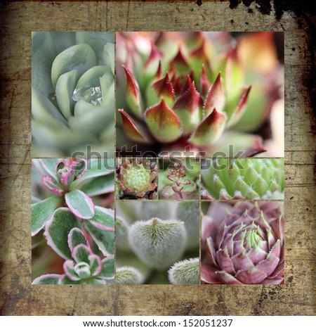 Sempervivum sedum collage - stock photo