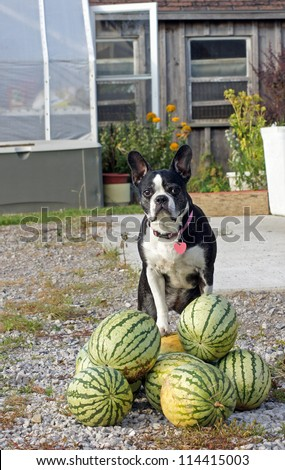 Senior Boston Terrier poses on top of the watermelon harvest - stock photo