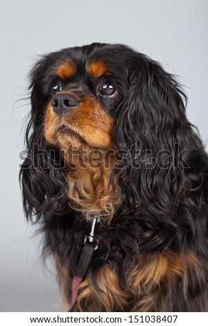 Senior cavalier king charles spaniel black and brown isolated against grey background. Studio portrait. - stock photo