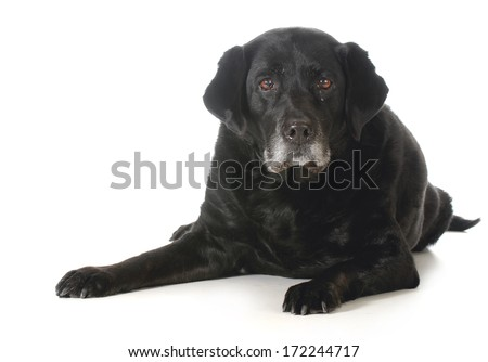 senior dog - black labrador retriever laying down looking at viewer isolated on white background - stock photo