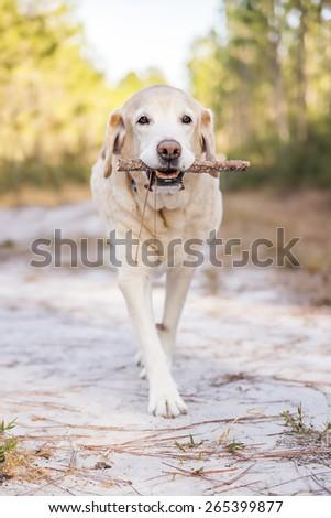 Senior dog carrying stick - stock photo
