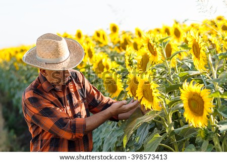 Senior farmer examining crop of sunflowers in field - stock photo