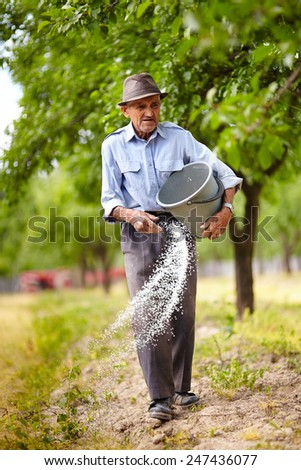Senior farmer spreading fertilizer from a bucket into a plum trees orchard, spring work - stock photo