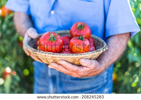 Senior gardener with a basket of harvested tomatoes in the garden - stock photo