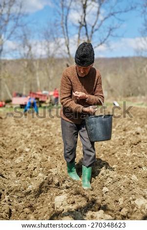 Senior man spreading fertilizer on potato tubers into the plowed soil - stock photo