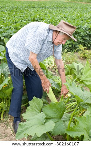 Senior peasant harvesting zucchini in the garden in early summer - stock photo