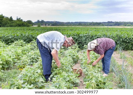 Senior peasants working in yellow bean field in early summer - stock photo