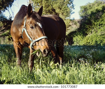 Senior Warmblood Mare eating grass in field of flowers - stock photo