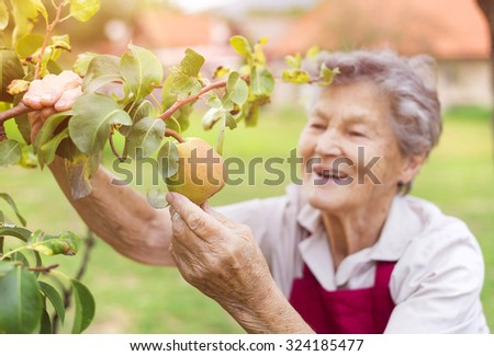 Senior woman in her garden harvesting pears - stock photo