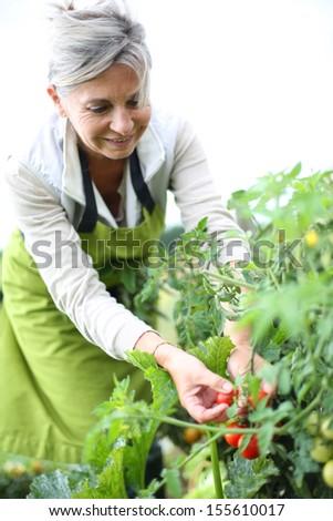 Senior woman picking tomatoes from vegetable garden - stock photo