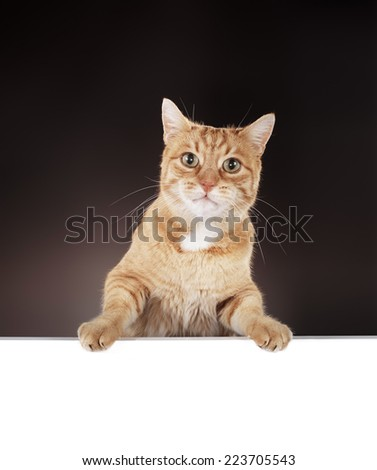 Senior 10 year old ginger cat hanging on a blank white board. - stock photo