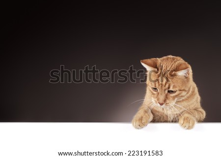 Senior 10 year old ginger cat hanging on a blank white board, looking left/down. - stock photo