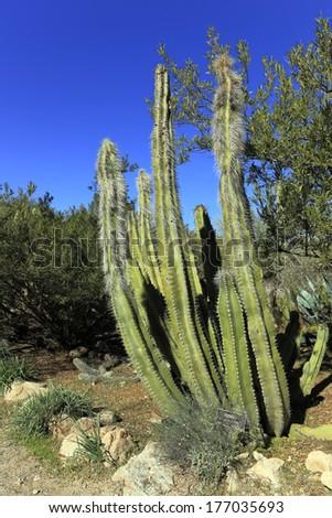 Senita cactus shrub in  Boyce Thompson arboretum state park near city of Surprise, Arizona - stock photo
