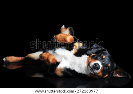 Sennenhund Appenzeller tricolor dog isolated on black, in studio - stock photo