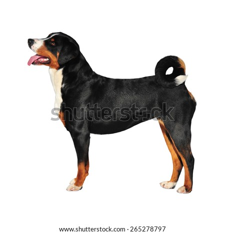 Sennenhund Appenzeller tricolor dog isolated on white - stock photo