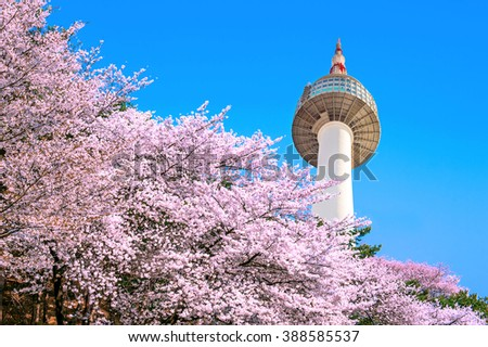 Seoul tower and pink cherry Blossom, Sakura season in spring,Seoul in South Korea. - stock photo