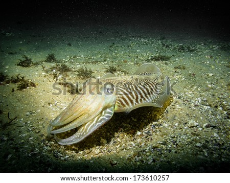 Sepia officinalis (Cuttlefish) - stock photo